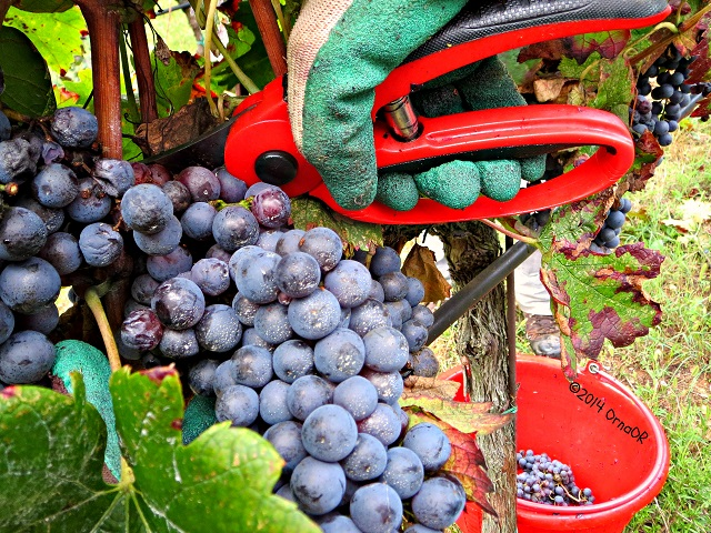 Photo by Orna O'Reilly Ca Lustra Arqua Petrarca Merlot harvest