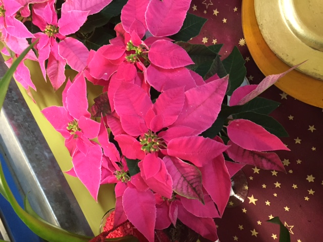 Photo by Michela Ricciarelli poinsettia