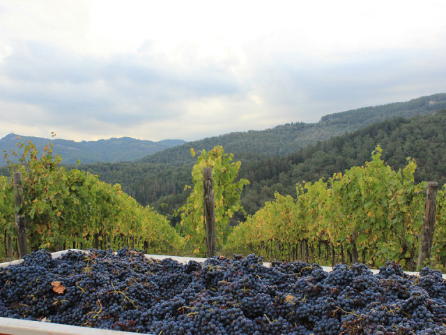 chianti-classico-harvest  photo  by Jennifer Martin